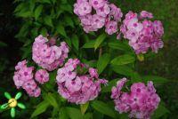 Сеянец флокса 'Жанна' / Phlox Seedling 'Jeanne'