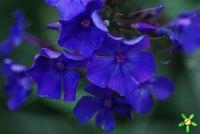 Флокс 'Блю Парадайз' / Phlox 'Blue Paradise'