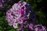 Сеянец флокса 'Семицветик' / Phlox Seedling 'Semizvetik'