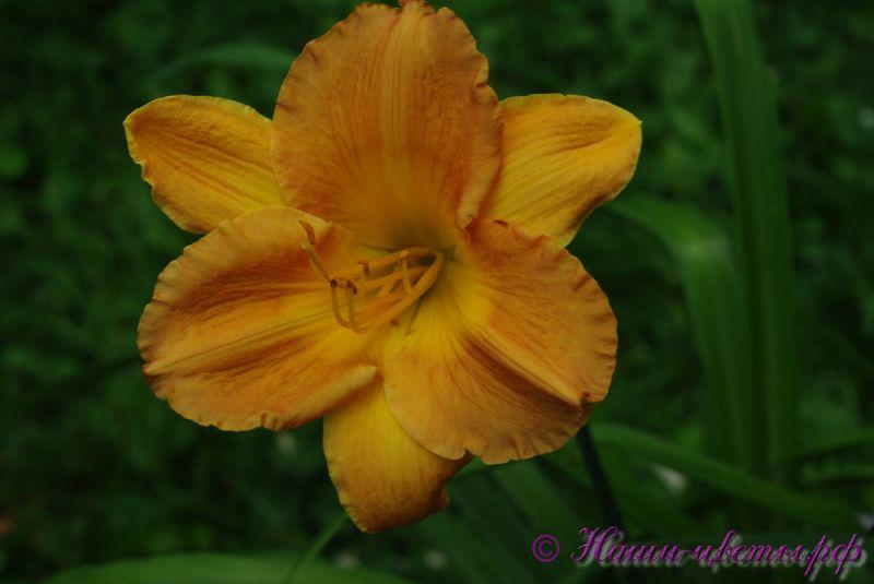 Лилейник 'Сеянец № 5' / Hemerocallis 'Seedling №5'