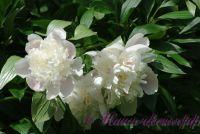 Пион травянистый 'Мирный' / Paeonia 'Mirnij'
